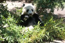 panda in san diego zoo
