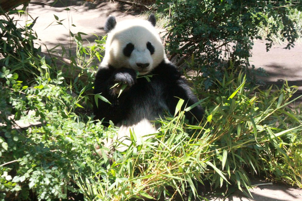 panda in san diego zoo