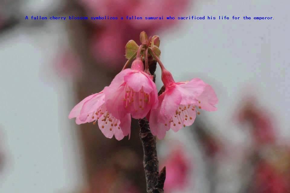 cherry blossom 10