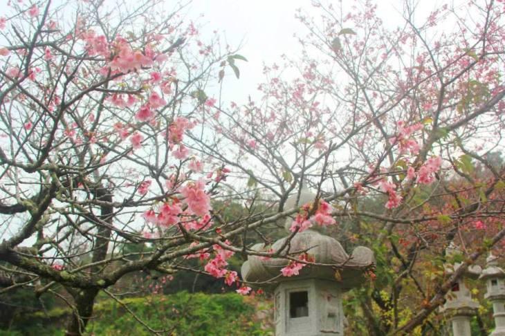 cherry blossoms 18