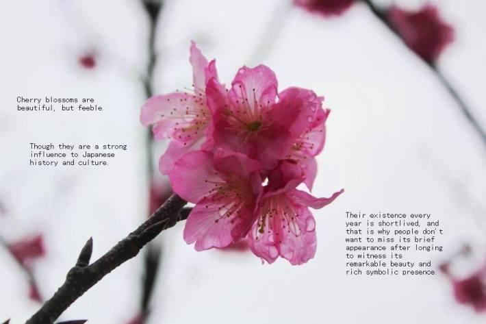 cherry blossoms 19