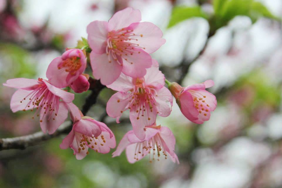 Cherry Blossoms in Okinawa