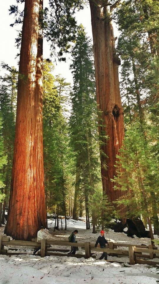 General Sherman: THE largest tree of the world