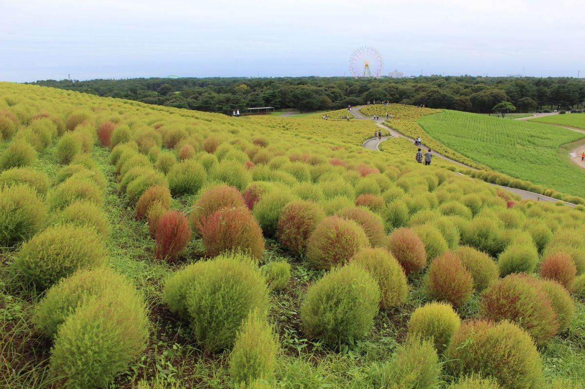 Kochia Hill at Hitachi Seaside Park in Hitachinaka, Japan v.1